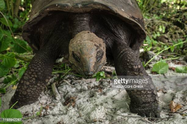 Picture taken on November 21 shows an Aldabra giant tortois in Cousin Island, a nature reserve island managed by Nature Seychelles, national...