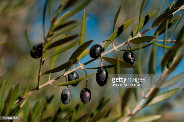 A picture taken on November 28 2015 shows olives on a tree during the olive picking season in Ronda The sunsoaked valleys of Andalusia made Spain the...