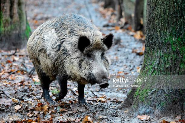 A picture taken on November 28 2017 shows a wild boar at an enclosure set up by forest rangers in a northwestern district of Berlin Thousands of wild...