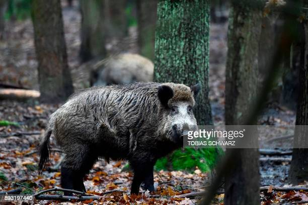 A picture taken on November 28 2017 shows wild boars at an enclosure set up by forest rangers in a northwestern district of Berlin Thousands of wild...