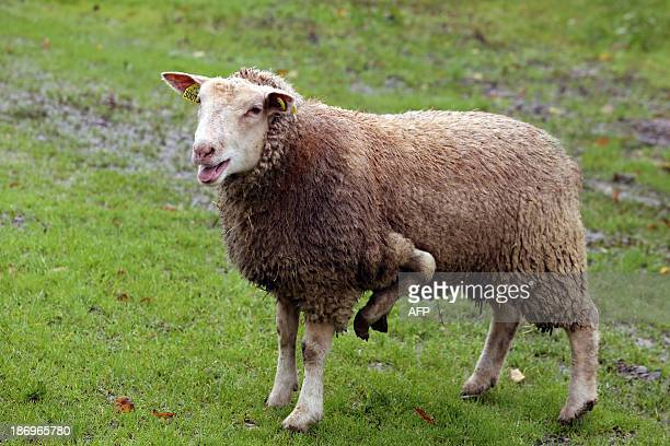 A picture taken on November 5 2013 in Condeon shows a fiveleg female sheep that the owner tries to sell on the internet AFP PHOTO/ NICOLAS TUCAT