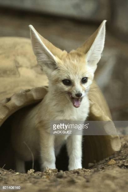 A picture taken on November 6 2016 shows a sevenweek old fennec fox at the Ramat Gan Safari zoo near the Israeli coastal city of Tel Aviv / AFP /...