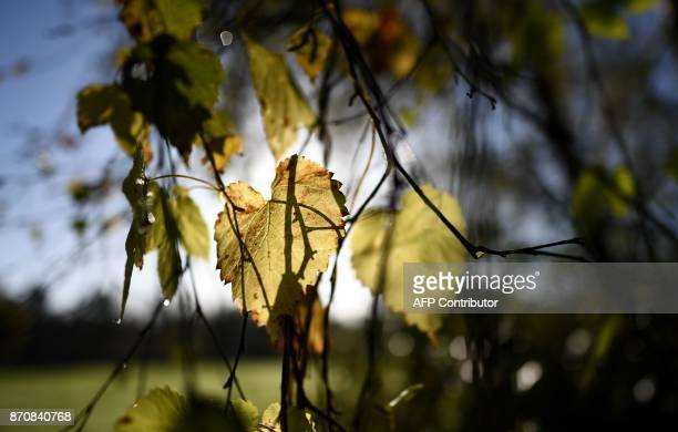 A picture taken on November 6 2017 shows autumncoloured leaves in a forest in ClairefontaineenYvelines near Paris / AFP PHOTO / FRANCK FIFE