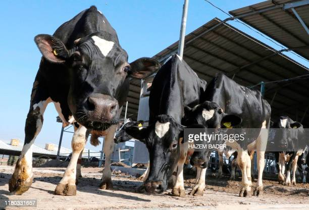 A picture taken on November 6 shows cows at a livestock farm near the southern Israeli town of Ashkelon The Palestinian government confirmed that it...