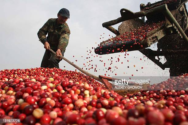Picture taken on Ocotber 12 2008 shows a Belarus collective farm worker harvesting cranberries 300 km south west of Minsk in the town of Selishche...