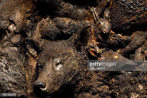 A picture taken on October 1 in Paris shows a close up of a wolf head part of the work entitled Who's afraid of the big bad wolf by French Algerian...