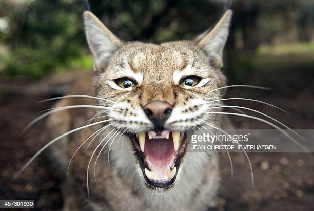 A picture taken on October 16 2014 shows an Eurasian lynx at the zoological park of the eastern French city of Amneville AFP PHOTO / JEANCHRISTOPHE...