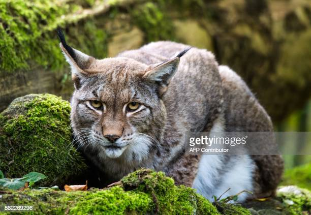 A picture taken on October 16 2017 shows a lynx in its enclosure at the OpelZoo in Kronberg near Frankfurt am Main western Germany / AFP PHOTO / dpa...