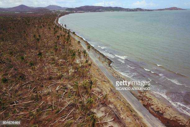 Picture taken on October 2 2017 shows downed power line poles and damaged palm trees in the aftermath of Hurricane Maria in Humacao Puerto Rico Six...