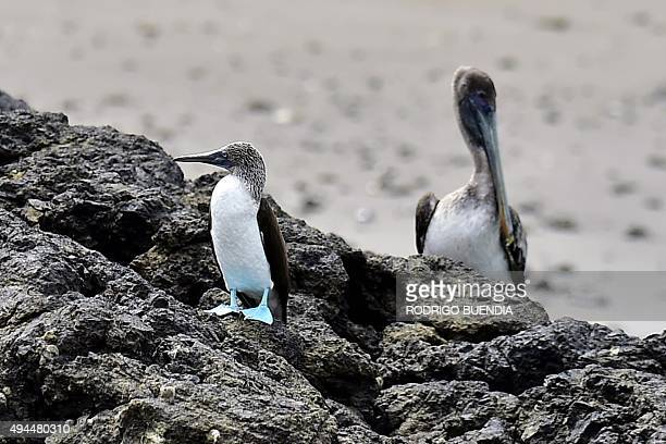 Picture taken on October 22 2015 of a bluefooted booby near the island of La Plata 40 km northwest of Puerto Lopez Ecuador AFP PHOTO / RODRIGO BUENDIA