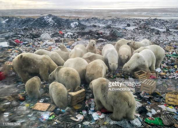 TOPSHOT A picture taken on October 31 2018 shows polar bears feeding at a garbage dump near the village of Belushya Guba on the remote Russian...