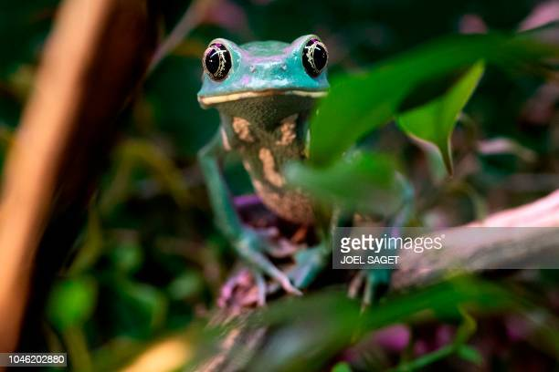 Picture taken on October 5, 2018 at the Palais de la Decouverte in Paris shows a Phyllomedusa frog during the installation of an exhibition called...