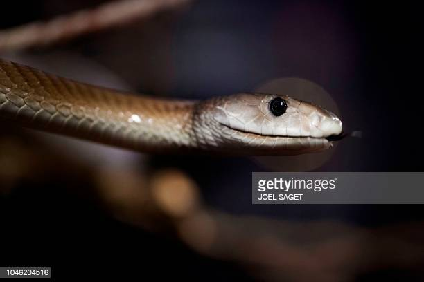 A picture taken on October 5 2018 at the Palais de la Decouverte in Paris shows a black mamba during the installation of an exhibition called Poison...