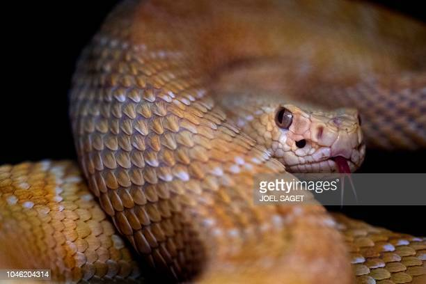 A picture taken on October 5 2018 at the Palais de la Decouverte in Paris shows an eastern diamondback rattlesnake during the installation of an...