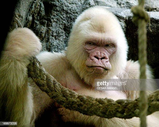 A picture taken on September 14 2003 shows 40yearold 'Copito de Nieve' 'Floquet de Neu' in Catalan the onlyknown albino gorilla in the world at the...