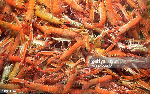 A picture taken on September 16 2014 shows shrimp in the kitchen of the La Maree restaurant in Moscow AFP PHOTO / YURI KADOBNOV