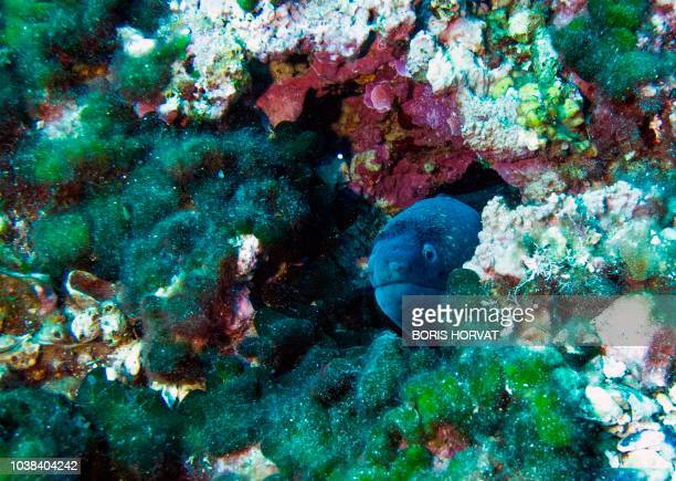 A picture taken on September 23 shows Mediterranean moray in the seabed of the Plane island in the Mediterranean Sea near Marseille southern France