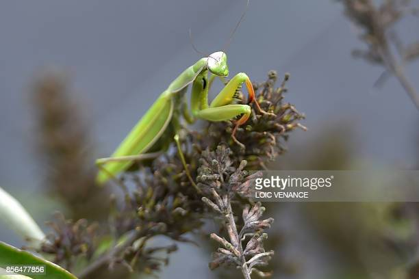 A picture taken on September 29 2017 shows praying mantis at the Varieties Study Sector of the Group of Study and control of varieties and seeds in...