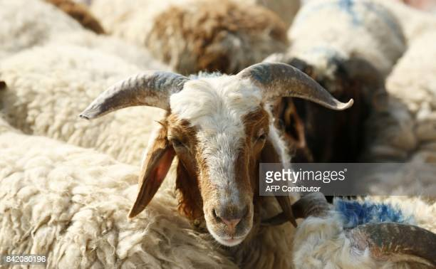 A picture taken on September 3 on the third day of the Eid alAdha holiday shows sheep at a livestock market in the Iraqi Shiite holy city of Najaf...