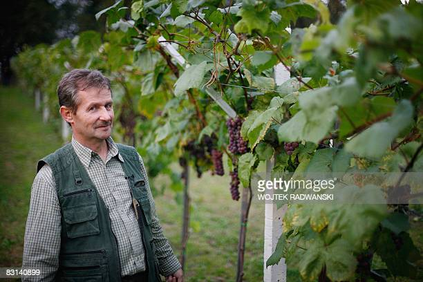 A picture taken on September 30 2008 in Lazy near Cracow of Polish of wine producer and chief of the experimental wineyard of the Jagiellonian...