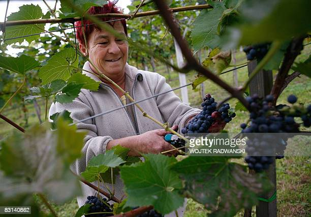 A picture taken on September 30 2008 in Lazy near Cracow shows workers of the experimental wineyard of the Jagiellonian University in Cracow during...