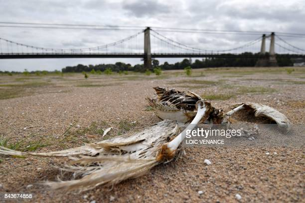 A picture taken on September 7 2017 in MontjeansurLoire western France shows a Crane bird skeleton lying on the dry river bed of the Loire