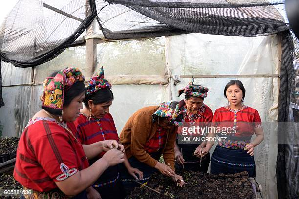 Picture taken on September 8 2016 showing indigenous women working in the production of trees in a nursery in Cajola municipality Quetzaltenango...