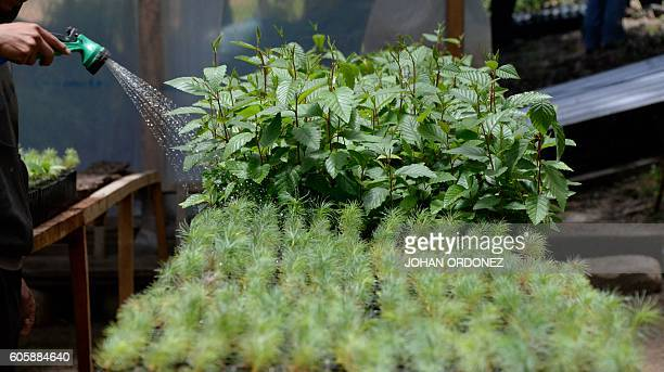 Picture taken on September 8 2016 shows a fruit and pine trees nursery in the Tuitzisbil village in the municipality of Concepción Chiquirichapa...