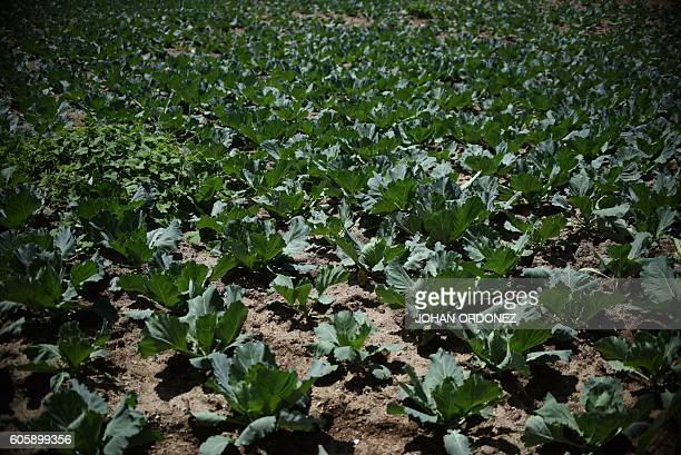 Picture taken on September 8 2016 shows a plantation of cauliflower in El Aguacate village in the Concepcion Chiquirichapa municipality...