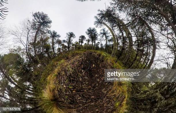 Picture taken with a 360 camera of Araucaria trees at Conguillio National Park in Temuco Chile on October 29 2018 Few araucaria tree forests remain...