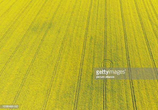 Picture taken with a remote-controlled multicopter shows tyre tracks in a flowering canola field in Cologne, Germany, 20 April 2016. Photo:...