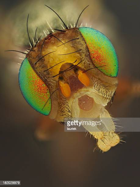 picture winged fly - bug eyes stock photos and pictures