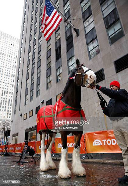A Budweiser Clydesdale horse appears on NBC News' 'Today' show