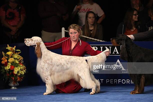An English Setter competes at The National Dog Show Presented by Purina