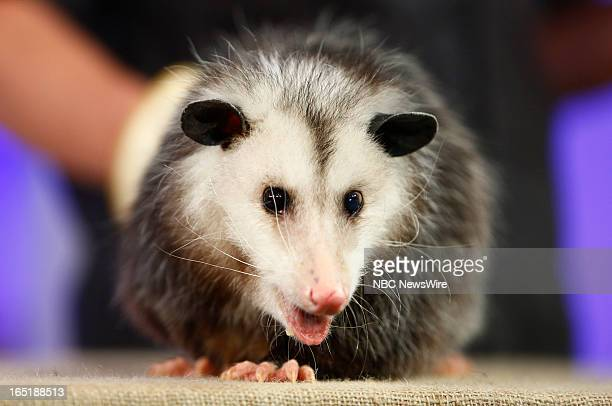 An opossum appears on NBC News' Today show on April 1 2013