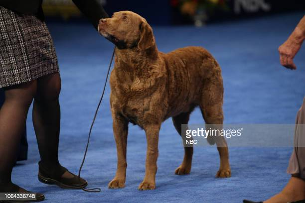 Chesapeake Bay Retriever Ducky Group Winner
