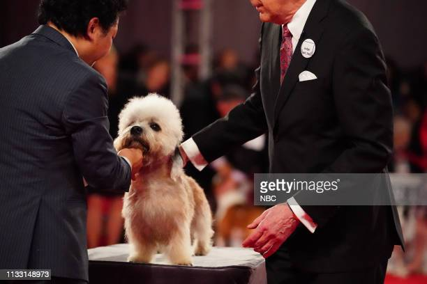 Pictured: Dandie Dinmont Terrier --