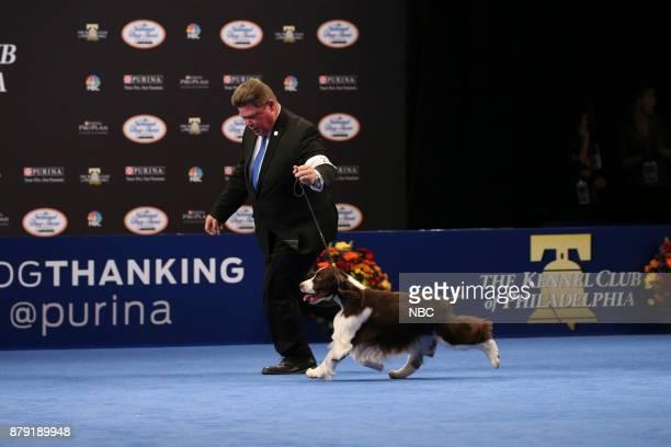 English Springer Spaniel named 'Timmy' Sporting Group Winner