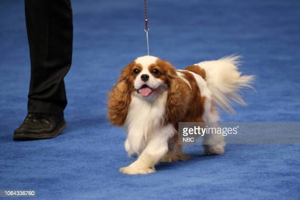 "Pictured: King Charles Cavalier Spaniel ""Bogie"" Group Winner --"
