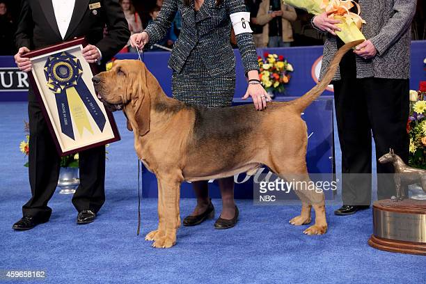 Nathan 4 yearold male Bloodhound winner of the 2014 'National Dog Show Presented by Purina'