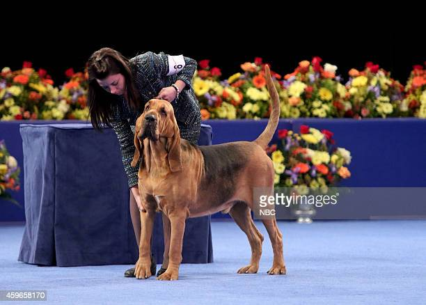 "Pictured: Nathan, 4 year-old male Bloodhound, winner of the 2014 ""National Dog Show Presented by Purina"" --"