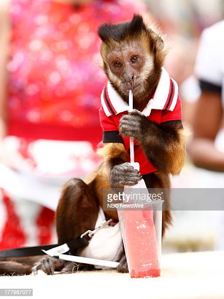 """Wilson the monkey appears on NBC News' """"Today"""" show --"""