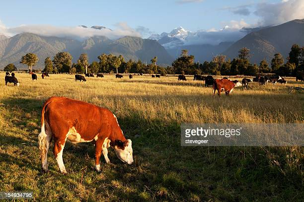 Picturesque Landscape with Cattle in New Zealand
