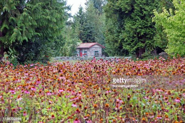 malerisches steinhaus, das von feld von echinacea und evergreens umgeben ist - zeder stock-fotos und bilder
