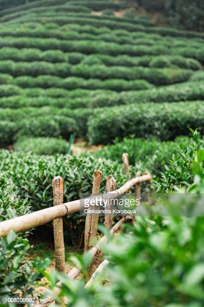 picturesque tea plantation, growing tea leaves for a ceremonial drink. - tea tree oil stock photos and pictures