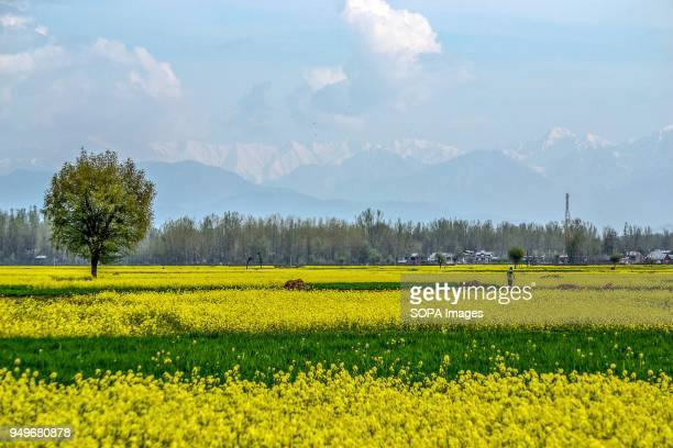 A picturesque view of mustard field in Awantipora 35kms south of Srinagar Indian administered Kashmir According to the Directorate of Agriculture the...