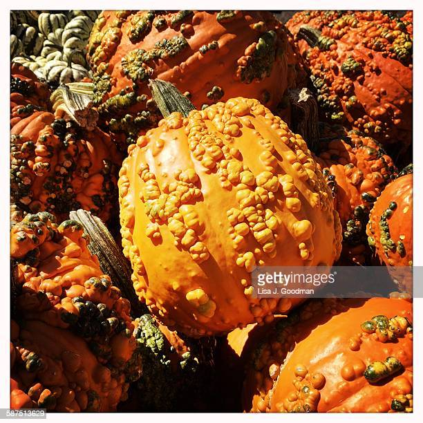 picturing autumn - ugly pumpkins stock photos and pictures