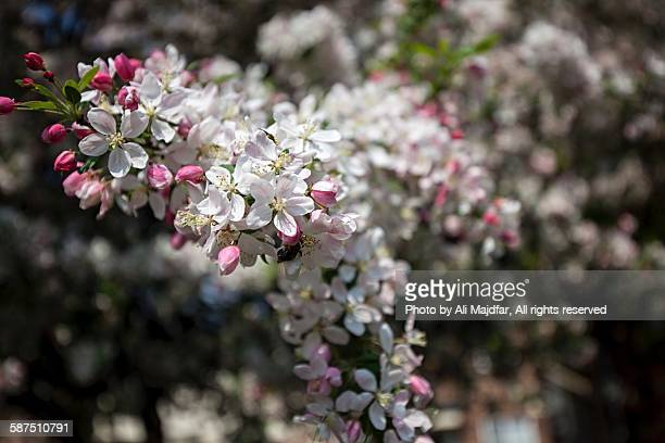 picturing spring - crab apple tree stock pictures, royalty-free photos & images