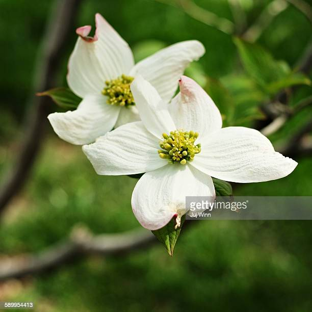 picturing spring - dogwood blossom stock pictures, royalty-free photos & images