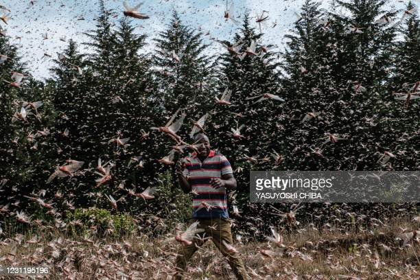 Picuture taken on February 9 shows a local farmer walking in a swarm of desert locust in Meru, Kenya. - The United Nations Food and Agricultural...